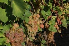Виноградины таблицы Стоковые Изображения