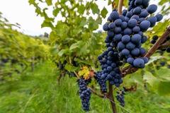 Виноградины для сбора стоковое изображение
