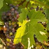 Виноградины classico Chianti стоковые изображения rf