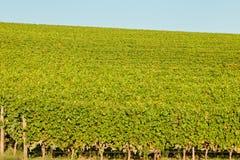 Виноградины classico Chianti стоковая фотография