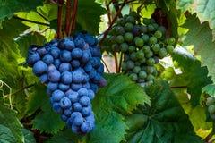 Виноградины Isabella растя на ветви в винограднике Стоковая Фотография