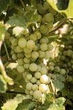 Виноградины Riped в осени Стоковые Фотографии RF