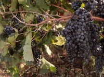 Виноградины Salento, Италия, Apulia Стоковые Изображения