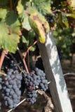 Виноградины Salento, Италия, Apulia стоковое изображение