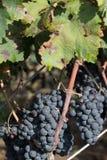 Виноградины Salento, Италия, Apulia Стоковое фото RF