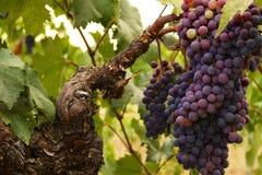 Виноградины Zinfandel Стоковое фото RF