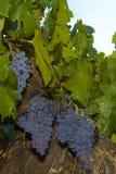 Виноградины Zinfandel Стоковые Фотографии RF