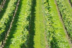 Виноградная лоза Стоковые Фотографии RF