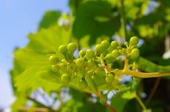 Виноградная лоза Стоковые Изображения RF