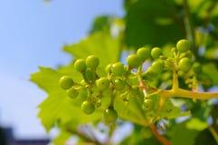 Виноградная лоза Стоковое фото RF