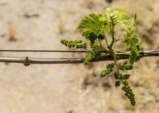 Виноградная лоза весны в Napa Калифорнии Стоковое фото RF