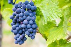 Виноградная лоза в французском винограднике Стоковые Фотографии RF