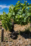 Виноградная лоза делать вина в солнечной южной Франции с почвой гравия Стоковые Изображения RF