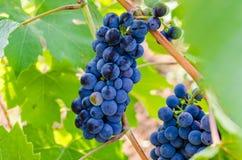 Виноградная лоза Chianti стоковые изображения