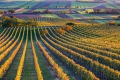 Виноградники, Австрия в осени Стоковые Изображения