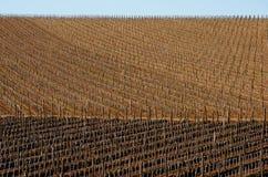 Виноградники весной Стоковое Изображение