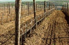 Виноградники весной Стоковые Изображения