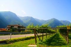 Виноградники в Италии Стоковые Изображения