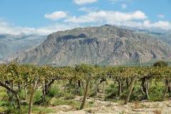 Виноградники в Cafayate, Аргентине Стоковые Изображения