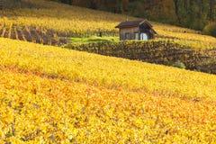 Виноградники в Lavaux - Terrasse de Lavaux, Швейцарии Стоковое Изображение RF