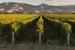 Виноградники в Marlborough Стоковые Фотографии RF