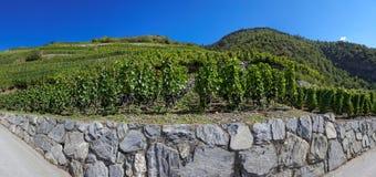 Виноградники в Visperterminen, Швейцарии - самых высоких виноградниках в Европе Стоковое фото RF