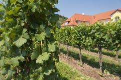 Виноградники зоны Wachau, Австралия Стоковые Изображения