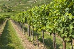 Виноградники зоны Wachau, Австрия Стоковые Изображения RF