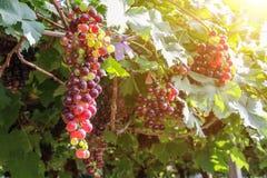 Виноградники на заходе солнца в осени жмут зрелые виноградины Стоковая Фотография RF