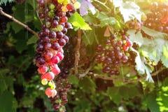 Виноградники на заходе солнца в осени жмут зрелые виноградины Стоковые Изображения RF