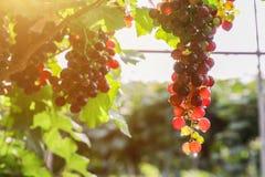 Виноградники на заходе солнца в осени жмут зрелые виноградины Стоковые Фотографии RF