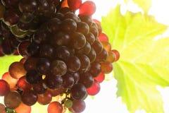 Виноградники на заходе солнца в осени жмут зрелые виноградины Стоковое Фото