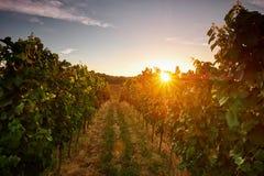 Виноградники на заходе солнца, чехии стоковое фото rf