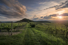 Виноградники на заходе солнца Стоковое Изображение RF