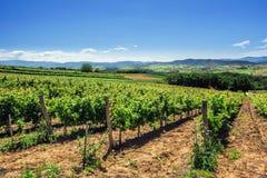 Виноградники на ясный летний день Стоковое Изображение