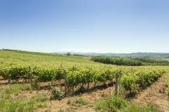 Виноградники на ясный летний день Стоковые Изображения
