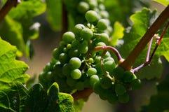 Виноградники Новой Зеландии Стоковая Фотография