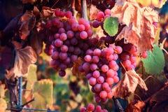 Виноградники осени и органическая виноградина на лозе разветвляют Стоковые Изображения