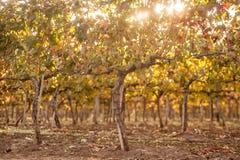 Виноградники осени на восходе солнца стоковое фото