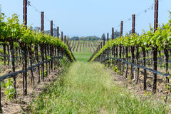 виноградники долины napa Стоковое фото RF
