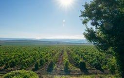 Виноградники, солнечный день Стоковое фото RF