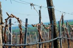 Виноградники с молодыми лозами Стоковые Фото
