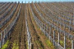 Виноградники с молодыми лозами Стоковое Фото