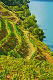 Виноградники стоковое изображение rf