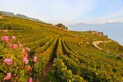 Виноградники Lavaux Стоковые Изображения RF
