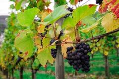 Виноградники Mayschoss в Германии Стоковые Фотографии RF