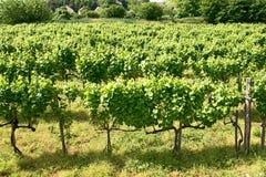 виноградники Tokaj, Венгрии Стоковое Изображение RF