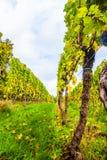 Виноградник бабьего лета Стоковое фото RF