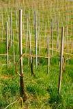 Виноградник весной Стоковые Изображения