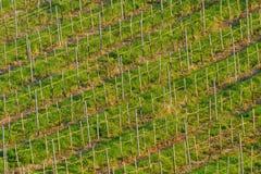 Виноградник весной Стоковая Фотография RF